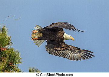 Eagle flying from tree.
