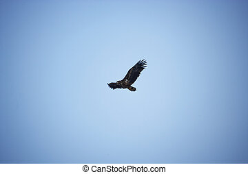 Eagle flying in the sky