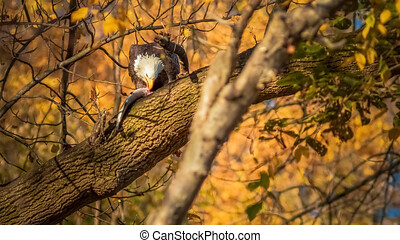 Eagle flying with fish in its claws, Eagle eating fish