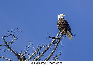 Eagle in barren tree.
