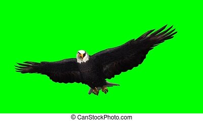 eagle in gliding on green screen - 3D rendering