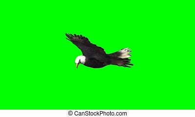 eagle in gliding - green screen