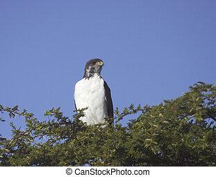 Eagle in the Serengeti