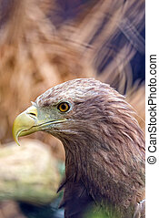 Eagle in the wild