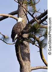 Eagle in tree.