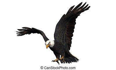 eagle isolated on white background