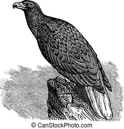 Eagle of Europe (Haliaeetus albicilla) or White-tailed Eagle, vintage engraving.