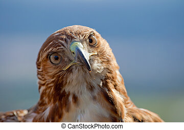 Eagle of red tail (Buteo jamaicensis) - Fantastic eagle of ...