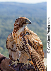 Eagle of red tail (Buteo jamaicensis) - Fantastic eagle of...