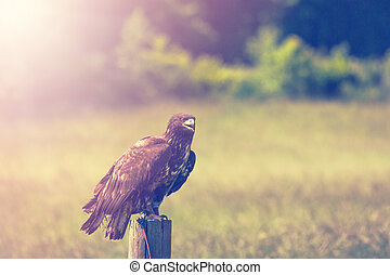 Eagle on a meadow