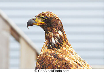 Eagle on the wooden fence background.