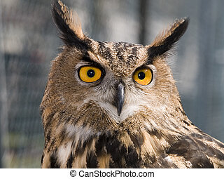 Eagle Owl 1 - A head shot of a European Eagle Owl