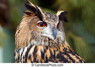 eagle-owl. - A picture of an almost extinct eagle owl ...