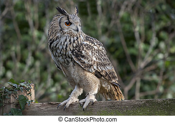 Eagle owl - An eagle owl perched on wooden fence