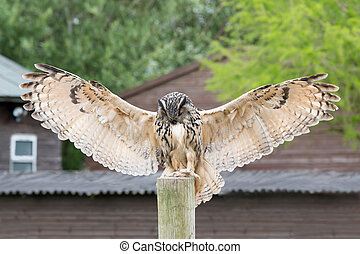 Eagle Owl - an eagle owl with outstretched wings