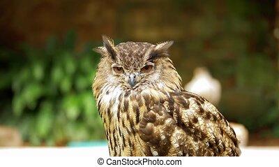 Eagle Owl At Dunrobin Castle, Scotland - Graded Version -...