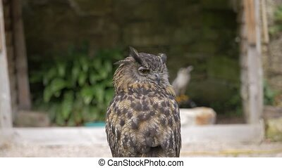 Eagle Owl At Dunrobin Castle, Scotland- Ungraded Version -...