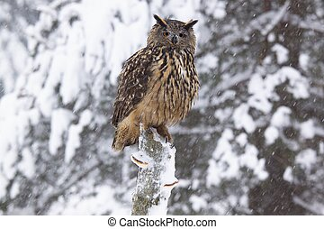 Eagle owl /Bubo Bubo/ - Bubo sitting on the tree in winter ...