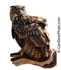 Eagle owl ( Bubo Bubo ) on a hand of a falconer