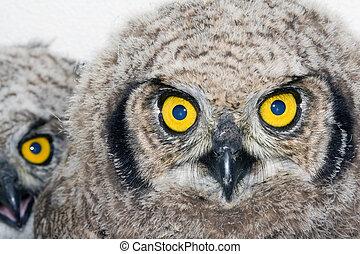 Eagle Owl Chicks 2