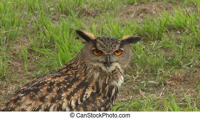 eagle owl close up 01
