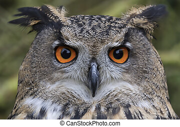 Eagle Owl - Close up and detailed photograph of a eurasian ...