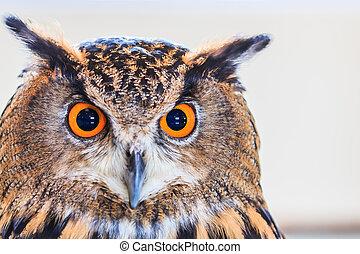 Eagle Owl (Eurasian eagle owl) Bubo bubo