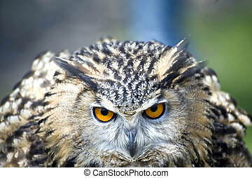 Eagle Owl - Full frontal of eagle owl with bright orannge ...
