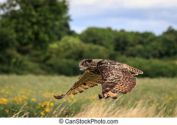 Eagle owl in flight over a meadow