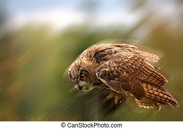 Eagle-owl in the flight in the wild