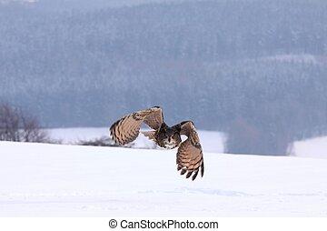 Eagle owl, lat. Bubo Bubo