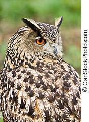 Eagle owl looking backward