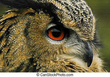 Eagle Owl Macro