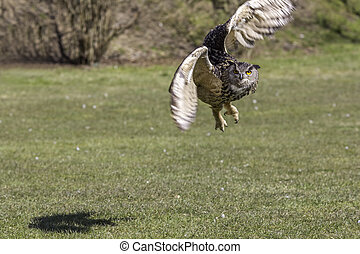 Eagle owl maneuvering from take off