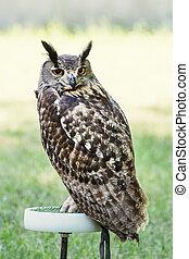 Eagle owl perched