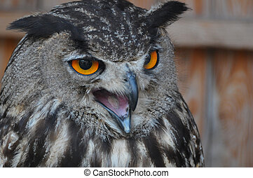 Eagle owl - Picture of an eagle owl