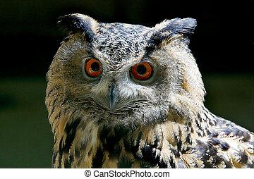 Eagle-owl, Portrait
