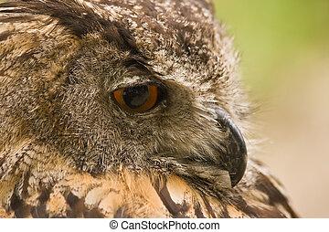 Eagle owl resting