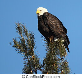 Eagle perched in a pine tree