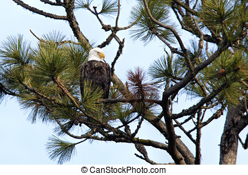 Eagle perched in tree.