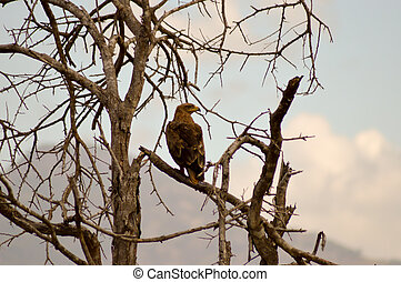 Eagle ravisher on a tree