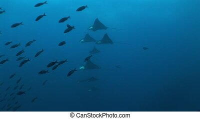 Eagle ray diving Underwater Video Galapagos islands Pacific...