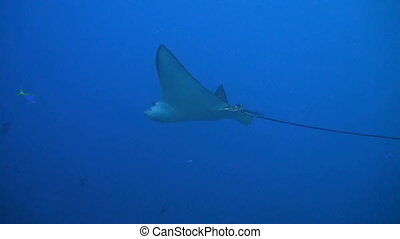 Eagle ray in the blue water