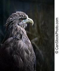 Eagle - Sitting eagle portrait
