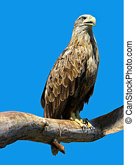 Eagle sitting on a branch