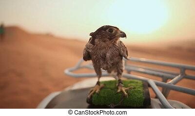 Eagle sitting. Slow motion.