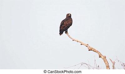 eagle soars from branch, bird of prey, flying, bird sitting on a branch bird flying