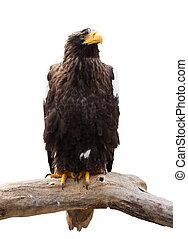 eagle., steller's, sur, isolé, mer, blanc