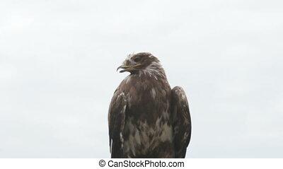 eagle - steppe eagle, Aquila nipalensis bird of prey