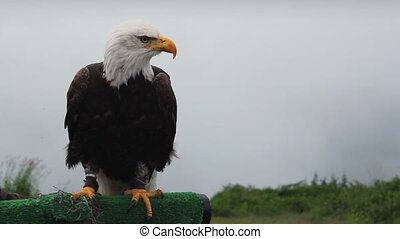 Eagle on perch stretches and calls out